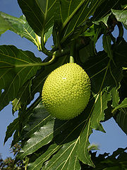 Going to Mauritius? Remember to map breadfruit trees! /img/breadfruit.jpg
