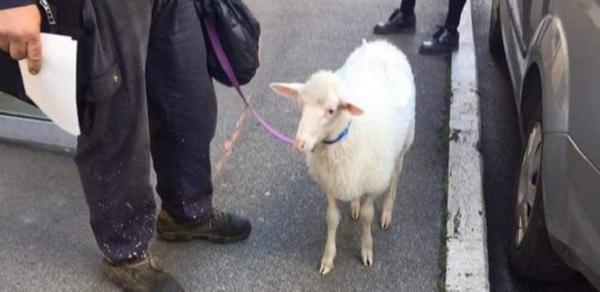 Tomorrow is a crucial COVID19 day. In Italy and beyond /img/walking-the-sheep.jpg