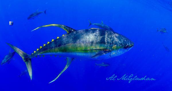 "How a tuna from Fiji confirmed my ""blockchain for food"" doubts /img/yellowfishtuna.jpg"
